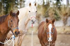 Horizontal image of a brown, sorrel (chestnut) and palomino horses wearing halters, looking into the camera with pleasant, interested expressions.  Room for Copy Space.