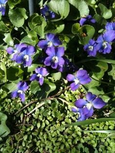 Foraging Brooklyn: Flower Power – Edible Violets, Redbuds and Dandelions Are In Bloom Now | Nona Brooklyn | Whats Good Today?