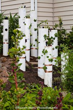 Vertical gardening, pvc pipe with vegetables and copper strips for snail pest control in California small space front yard garden