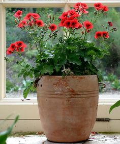 potted geranium & tiny white flowering summer euphorbia /empty birch  tree pot & big privet pot on patio & use these on patio walls as entrance to garden