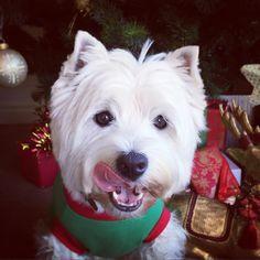 Gud mornin fwends!  Happy Cwismas #tongueouttuesday! . Haff a gud day! Be kind to one anovver.  . #westhighlandwhiteterrier #westie #westiegram #dogsofig #whwt #westieapproved #westielove #westietude #westiesofinstagram  #westiemoments #westielovers #westieoftheday #cutewestie #dogsofinstagram #barkbox #pupshow #terrier #dogsofmelbourne #melbournedogs #lacyandpaws #dostagram #puppytales #instawestie #ilovemydog #melbournedogcollective #melbournepaws #christmas #mdc_christmas #tot by…