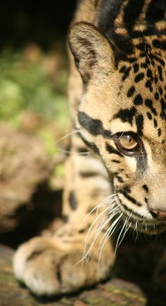 Clouded Leopard by sometimesong, via Flickr