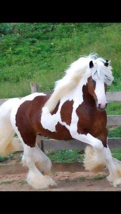 Gypsy Vanner horse Любовь Лошадей, Фильм Прекрасные Создания, Лошадь Пинто, Цыганская Лошадь, Лошади Першерон, Фотографии Лошадей, Редкие Животные, Милые Животные