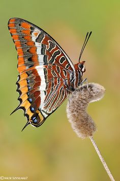 Mariposa del madroño - Charaxes jasius - two tailed pasha or Foxy Emperor