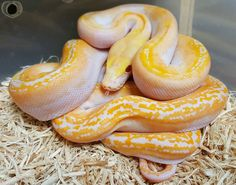 Pretty little pied retic right ? Jacket Men, Leather Jacket, Prehistoric Pets, Reticulated Python, Cute Snake, Snake Art, Beautiful Snakes, Reptiles And Amphibians, Lizards