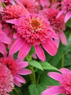 Echinacea Raspberry Truffle (Cone-fection™ Series)