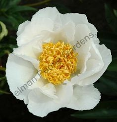 I just bought this beauty today - Krinkled White Peony.