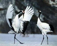 red crowned cranes