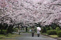 Cherry Blossom Report 2013: Fukuoka Report
