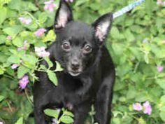 Petfinder Adoptable Dog | Schipperke Mix | Austin, TX | BELLA RENEE
