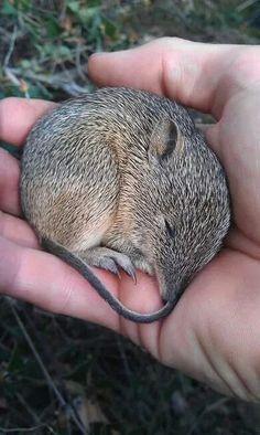 Australian native animals - Southern Brown Bandicoot. At Mt. Lofty South Australia