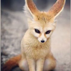 """The Fennec Fox (Vulpes zerda) is a small nocturnal fox found in Sahara Desert of North Africa. Its most distinctive feature is unusually large ears. The name """"Fennec"""" comes from the Arabic word for fox (fanak). Nature Animals, Animals And Pets, Desert Animals, Rainforest Animals, Cute Baby Animals, Funny Animals, Fuchs Baby, Cute Kittens, Tier Fotos"""