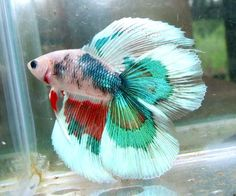 Siamese Fighting Fish - Multi-Color Double Tail male Betta Splendens