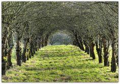 Avenue of Apple Trees    Winterspaziergang zwischen den Apfelbäumen im Remstal    Winter walk among Apple Trees in Remstal / Germany