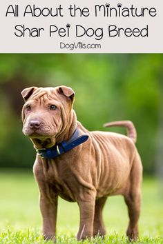 """Say """"hello"""" to the Miniature Shar-Pei - same great dog as the full-size breed, only in """"mini-me"""" format! Read on to learn all about him! Shar Pei Puppies, Cute Puppies, Dogs And Puppies, Pet Dogs, Dog Cat, Pets, Dog Best Friend, Purebred Dogs, Best Dog Breeds"""