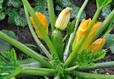 Zucchini erfolgreich auf dem Balkon kultivieren und ernten