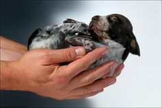 Handful of GSP puppy!