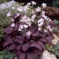 Oxalis triangularis - these are great in my Gulf Coast garden.