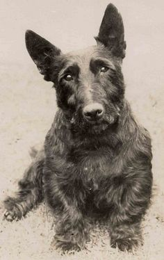 Sweet Scottie by Libby Hall Dog Photo, via Flickr
