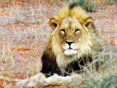 Pride of the Kgalagadi Lion, Pride, Animals, Leo, Animales, Animaux, Lions, Animais, Gay Pride