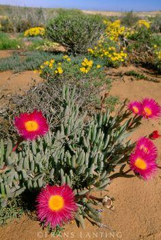 Flowering succulent plant, Cephalophyllum spongiosum, Namaqualand, South Africa ~ © Frans Lanting