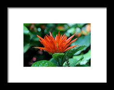 mexican honeysuckle, orange, flower, bloom, blossom, nature, garden, michiale, schneider, photography