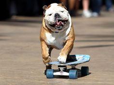 1000  images about Skateboarding Bulldog on Pinterest