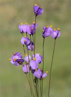 Campylosiphon purpurascens