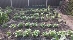Potato rows May 2016
