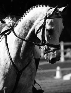 graceful by gypsymarestudios, via Flickr    equestrian equine cheval pferde caballo   BW grey dressage