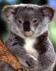 Koala ~ Photography by Mike Bacon