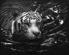 """""""Moonlight Swim"""" by Lorna Hannett Scratchboard Art, Cute Raccoon, Scratch Art, White Pencil, Realistic Drawings, Black Paper, Wildlife Art, Cat Art, Animal Drawings"""