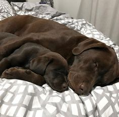 Great Free of Charge Labrador Retriever baby Style Would you just encouraged a fresh Labrador Retriever directly into your own home? Are you currently great deal. Pug Puppies, Cute Dogs And Puppies, I Love Dogs, Pet Dogs, Dog Cat, Doggies, Pets, Perro Labrador Chocolate, Chocolate Lab Puppies