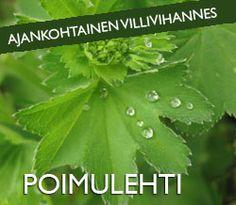 Arktiset aromit - Kuusenkerkkä Finland, Plant Leaves, Berries, Stuffed Mushrooms, Herbs, Plants, Stuff Mushrooms, Bury, Herb