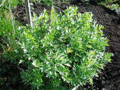 La livèche, ou herbe à Maggi : semis, plantation, culture et récolte de cette plante-légume aromatique et condimentaire. Perpétuelle.