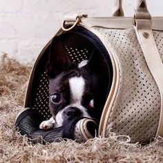 Neat hiding spot #bostonterrier #puppy