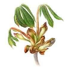 botanical horse chestnut drawing