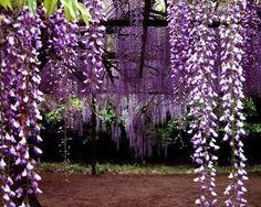 I imagine the most beautiful tea party underneath the wisteria..