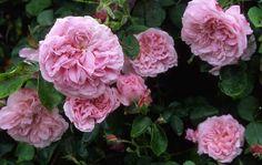 may queen rosa - Cerca con Google