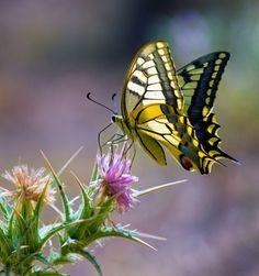 Papilio machaon by Mehmet Emin Ergene