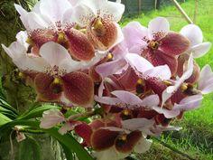 Waling Waling (vanda Sanderiana) Queen of Philippine Flowers = http://ignugent17.hubpages.com/hub/Waling-Waling-Queen-of-Philippine-Flowers (endemic in Mindanao)