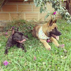 French Bulldog (Ramona) & Japanese Akita Inu (Oshi)