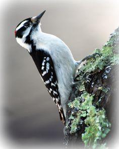 Hairy Woodpecker .