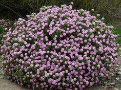 Posts about Pimelea on Garden Geek Bushes And Shrubs, Flowering Bushes, Small Shrubs, Australian Native Garden, Australian Plants, Front Yard Flowers, African Plants, Full Sun Plants, Pink Garden