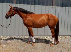 Loreli LBA-  3 year old, RPSI mare