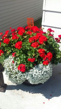 These were last years geraniums... Pull plant out, put in paper bag, and put in a cool dark place over the winter, re-pot in spring.. And you have beautiful blooms all summer long. :)