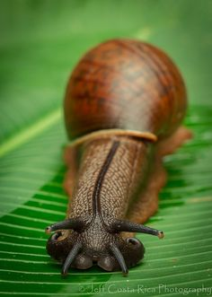 Snail 2 by Jeff Costa Rica Photography, via Flickr