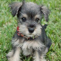 Schnauzer puppy cutie