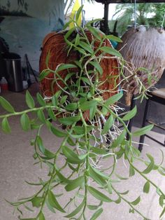 9/18/15 - Den. loddigesii mounted in coconut husk.  From BCOS meeting w/Jim Roberts of Suncoast Orchids.