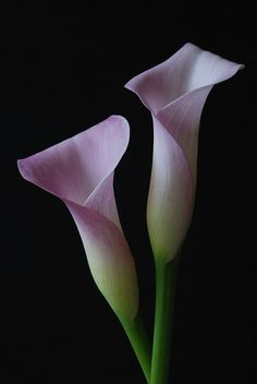 Calla lilies. LOVE.
